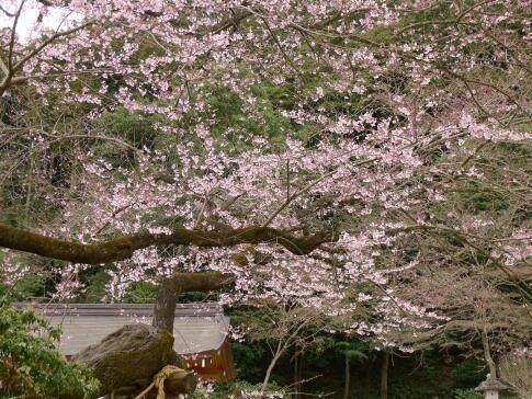 高麗神社ヒガンザクラ2.jpg