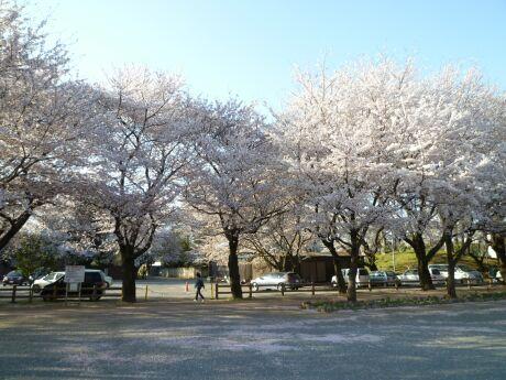 鴻巣公園の桜2.jpg