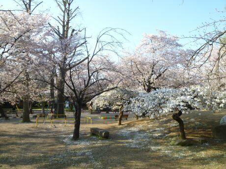 鴻巣公園の桜3.jpg