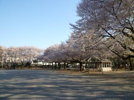 鴻巣公園の桜1.jpg