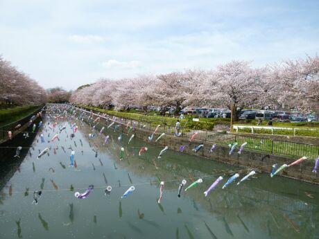 鶴生田川桜並木 世界一のこいのぼり.jpg