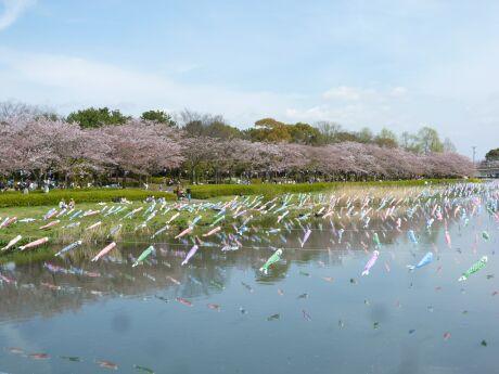 鶴生田川桜並木 世界一のこいのぼり2.jpg