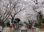 鷲宮神社の桜.jpg