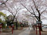 鷲宮神社の桜2.jpg