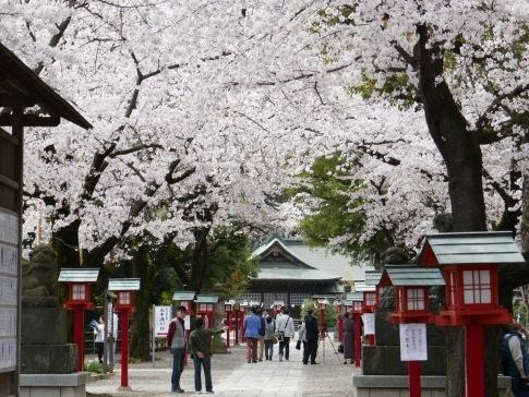 鷲宮神社の桜3.jpg