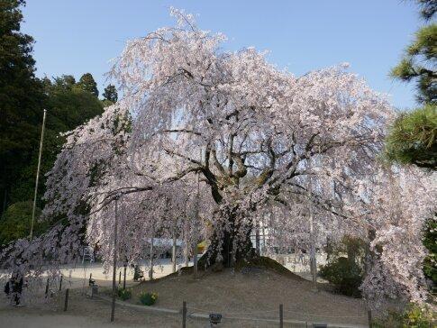 麻績の舞台桜.jpg