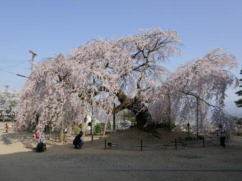 麻績の舞台桜2.jpg