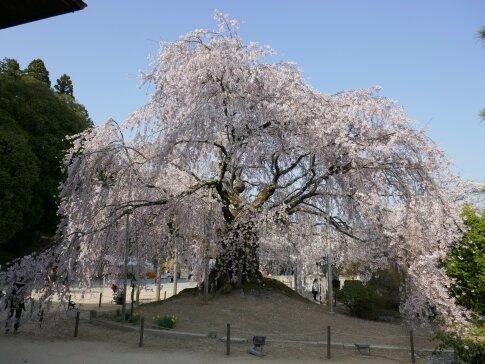 麻績の舞台桜3.jpg