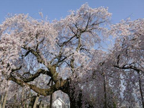 麻績の舞台桜4.jpg