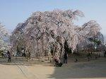 麻績の舞台桜大.jpg