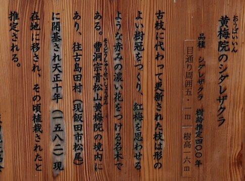 黄梅院の枝垂れ桜.jpg