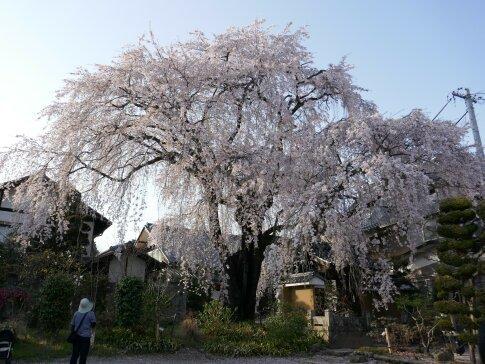 黄梅院の枝垂れ桜3.jpg
