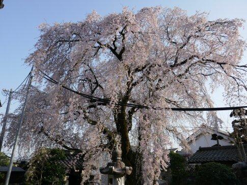 黄梅院の枝垂れ桜4.jpg