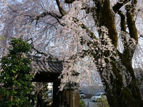 黄梅院の枝垂れ桜5.jpg