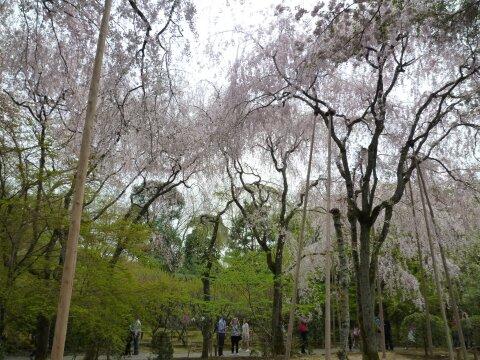 龍安寺 桜2.jpg