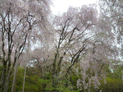 龍安寺 桜3.jpg