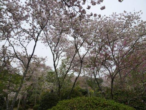 龍安寺 桜4.jpg