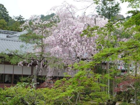 龍安寺 桜5.jpg