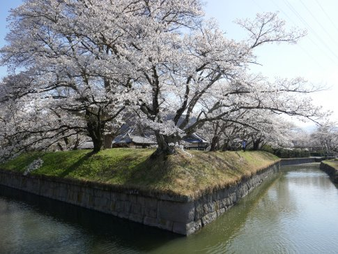 龍岡城 桜2.jpg