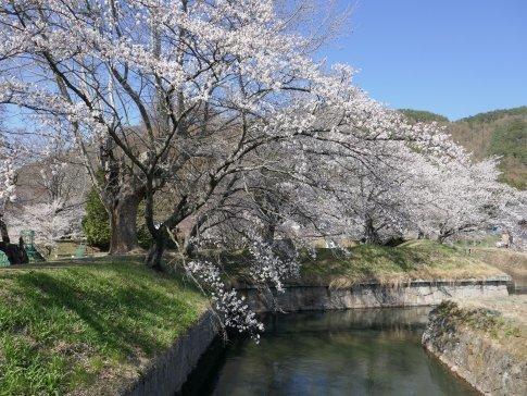 龍岡城 桜3.jpg