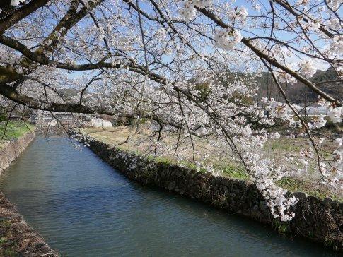 龍岡城 桜6.jpg