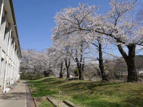 龍岡城 桜7.jpg