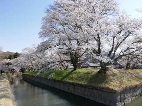 龍岡城 桜1.jpg