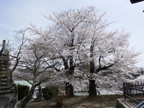 龍穏院桜3.jpg