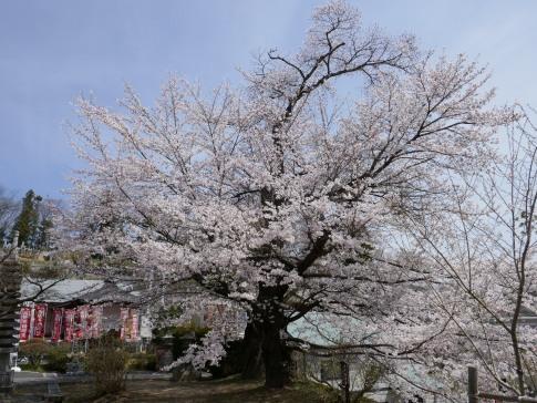 龍穏院桜5.jpg